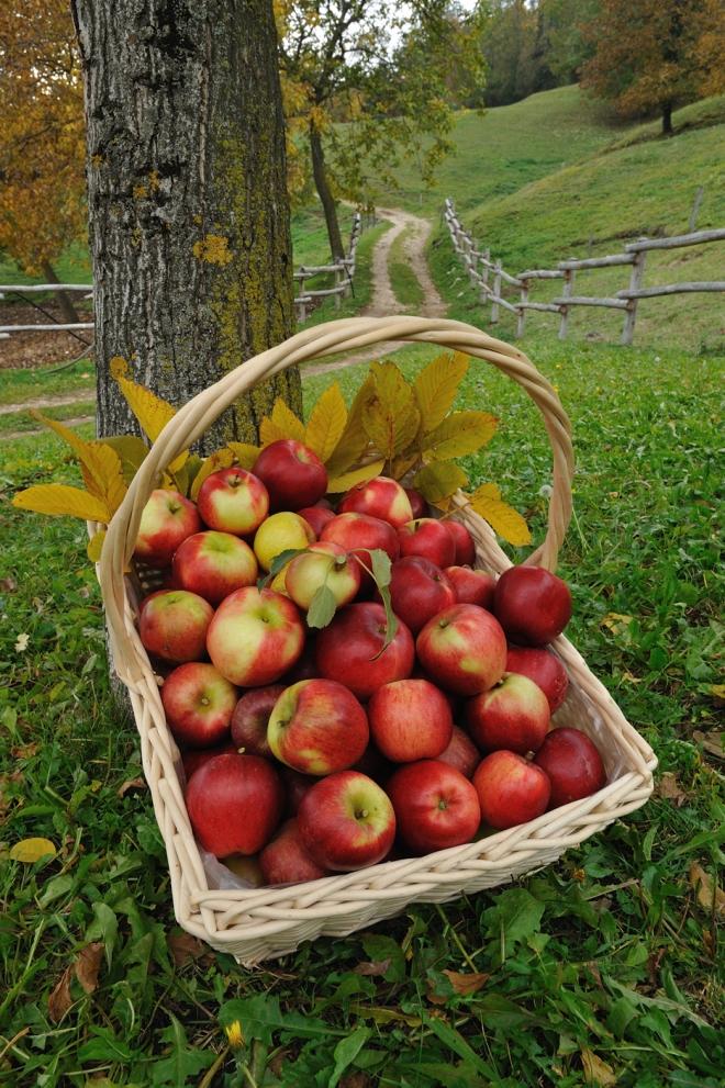 Cesto di mele